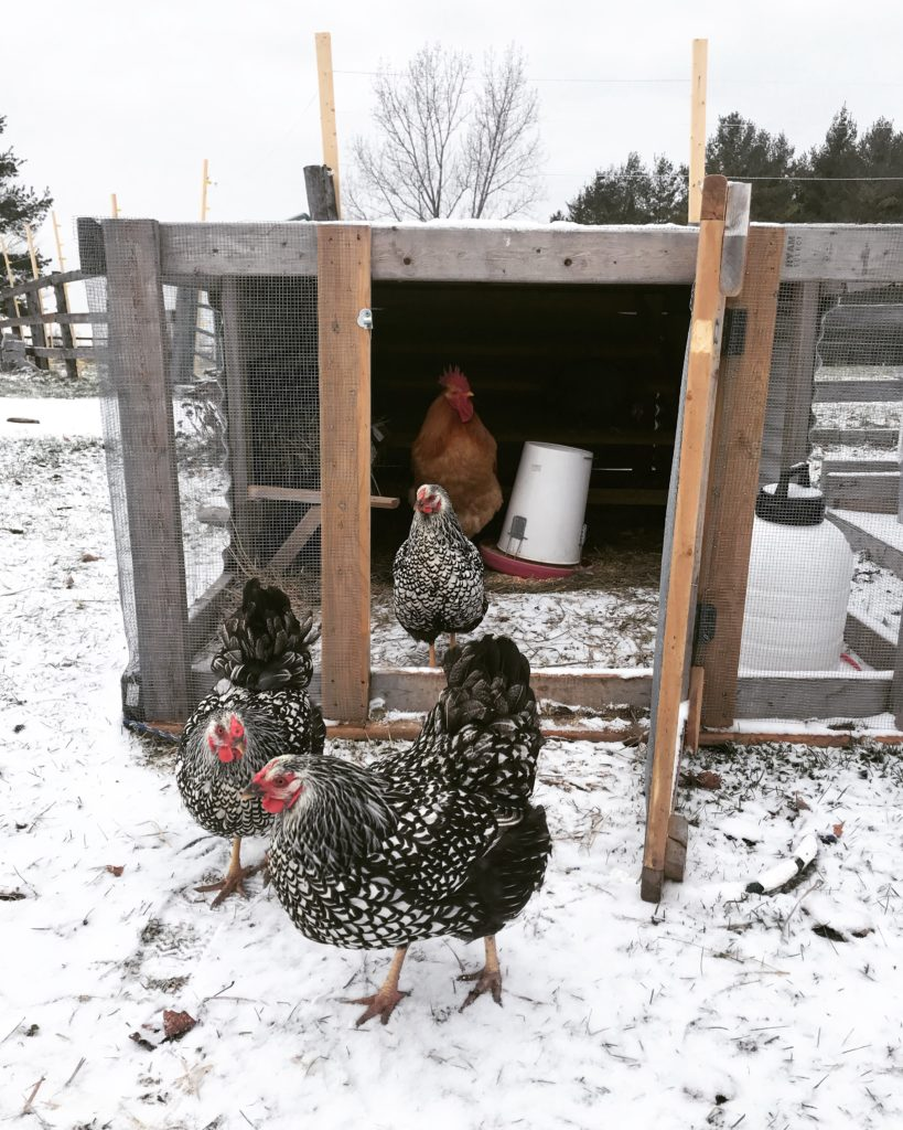 6 Tips for keeping chickens during the winter