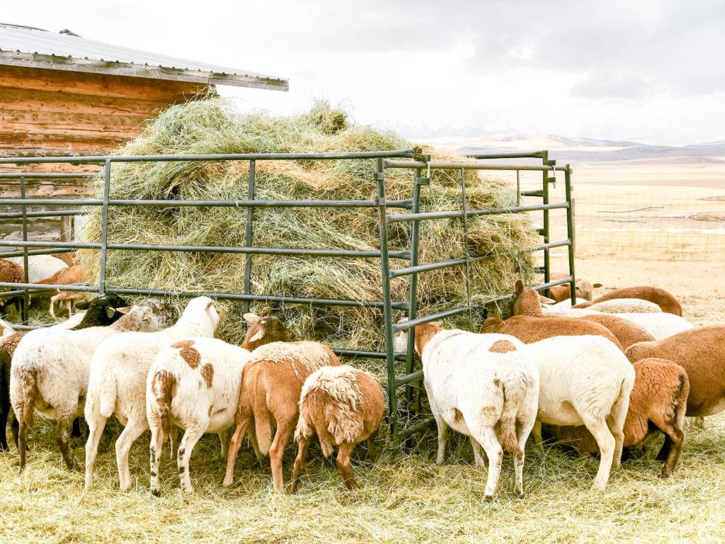 DIY self-feeding hay feeder for sheep