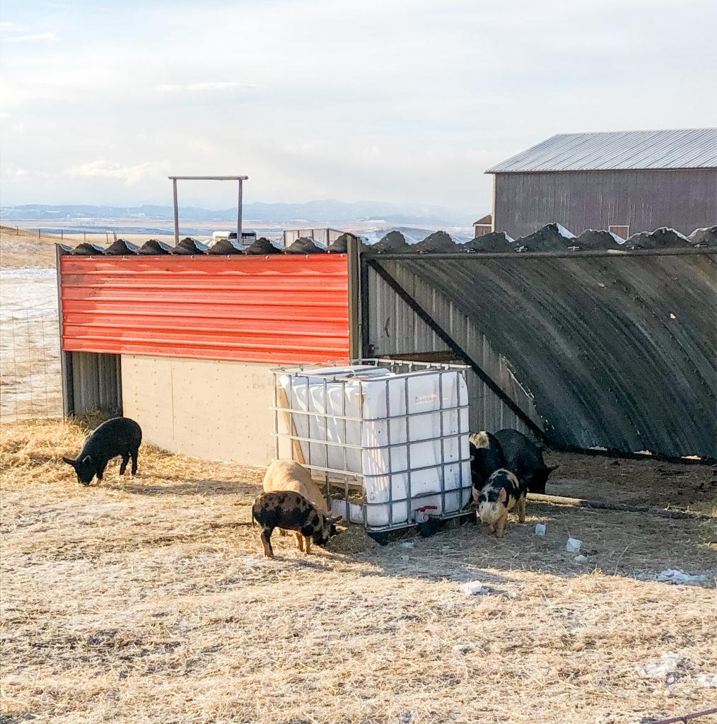 IBC Tote Pig Feeder