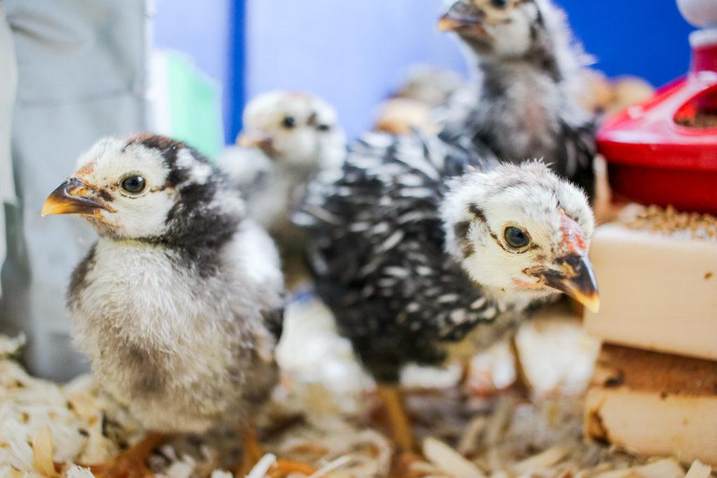 raising chicks for beginners